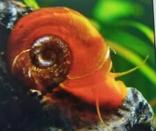 50 Medium Size Ramshorn Snails Tropical  Aquarium Cleaners Red/Brown