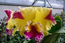 BRASSOLAELIOCATTLEYA Hwa Yuan Grace 'King Cat'-Young plants rare peloric hybrid