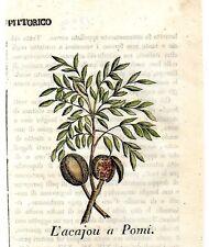 Stampa antica frutta ACAJOU ANACARDIUM botanica 1839 Old print fruits