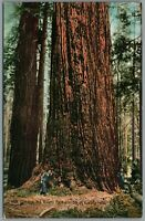 Postcard Omano the Giant Redwoods of California Trees Woods Forest Unposted