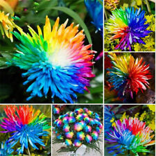 20pcs-Rainbow-Chrysanthemum-Flower-Seeds-Rare-Special-Unique-Unusual-Colorful