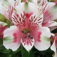 20 White Green Pink Alstroemeria Lily Seeds Flower Seed Perennial 99 US SELLER