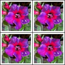 Adenium~Desert Rose < KALEIDOSCOPE > Suit Bonsai Indoor~10 SEEDS
