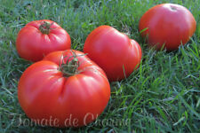 10 graines de tomate rare Sprint Timer géante heirloom tomato seeds m.bio