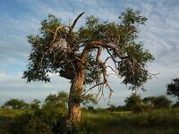 50 Samen Sibirische Ulme -ulmus pumila-  -Eingetragener Händler für Forstsaat-