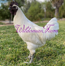 3+ Rare White Ayam Cemani Hatching Eggs - Recessive White Ayam Cemani Chicken