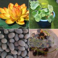 10 stücke Schüssel Lotus Samen Seerose Bonsai Lotus Seeds Gardern Balkon Decor