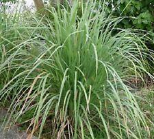 Organic NON-GMO Herb-Lemongrass 25+ seeds An essential herb in Asian cuisine