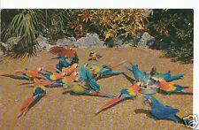 """America Postcard - """"Chow Time"""" at The Parrot Jungle, Miami, Florida    K899"""