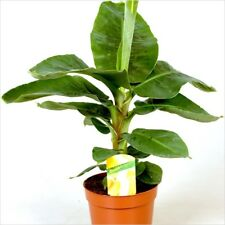 Pianta di BANANO NANO 'Musa Paradisiaca' in vaso 15 cm