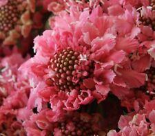 F0824 Scabiosa Florist Salmon Pink x20 seeds Perennial Flower Garden Pincushion