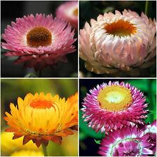 100 Samen Strohblume Prachtmischung Trockenblume Helichrysum bracteatum