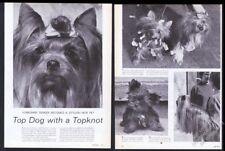 1964 Yorkie Yorkshire Terrier pet & show dog 6 photo vintage print article