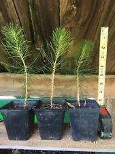 Japanese Black Pine Seedlings Pre Bonsai Starters 2nd Year 3 Plants