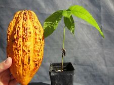 "1 PLANT 16"" Theobroma Cacao Cocoa Chocolate Tropical Fruit Tree Plant FL"