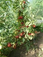 15 graines semences  tomate PECHE  rose Rouge  rare seeds bio de FRANCE