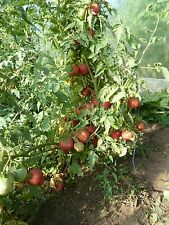 15 graines semences  tomate PECHE  rose Rouge  rare seeds bio