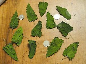 Dried Catnip Whole Leaf, GIANT, 1 oz dry weight, approx. 5-6 cups, fresh dried