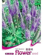 FD1878 Spike Speedwell Flower Seed Veronica Spicata Hot ~1 Pack 50 Seeds~ Rare