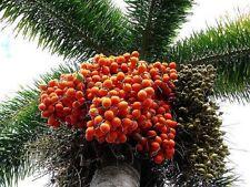 ~ FOXTAIL ~ PALM TREE 10 SEEDS FOR $8.99 (WODYETIA BIFURCATA ) USA SELLER