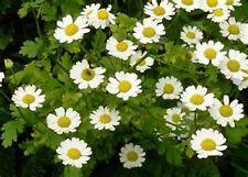 Feverfew (Chrysanthemum Parthenium)- 100 Seeds -
