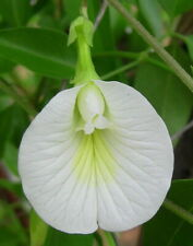 5 graines LIANE MADAME BLANCHE(Clitoria Ternatea)B61 WHITE BUTTERFLY PEA SEEDS