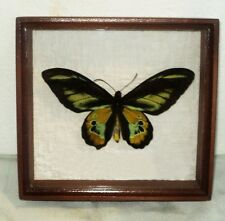 Real Insect: Ornithoptera rothschildi male In frame made of expensive wood.