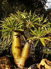 Madagascar Palm - PACHYPODIUM GEAYI - 9  Seeds - Tropicals