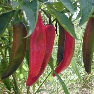 Chilli- Anaheim, 30 seeds