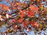 exotisch Gartenbaum Pflanze Samen winterhart Sämereien Exot AMBERBAUM