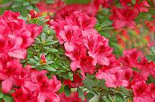 Azalea Japonica 'Vuyk's Scarlet' / Rhododendron 20-30cm Tall In 2L Pot