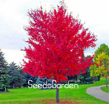 Arrivalred Japanese Maple Seeds Plants Tree Flores Beautiful 100pcs/pack