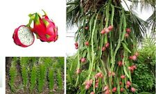 1 mini Plant de FRUIT du DRAGON Hilocereus Pitaya Pitahaya Fruit Exotique Rouge