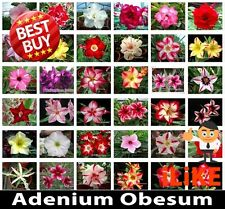 BULK Adenium Obesum Desert Rose Mixed Varieties 50 Seeds Minimum Garden Flower.