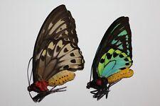 Ornithoptera priamus urvilleanus Santa Isabel P no1