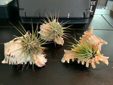 THREE Living Airplants with Seashell Display Holders - Great Gift Idea!!