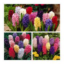 Mixed Hyacinth x 30 Bulbs Indoor / Outdoor Bulbs.Highly Fragrant.