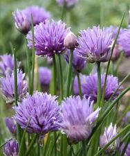 500 CHIVE Allium Purple Flower Vegetable Herb Seeds
