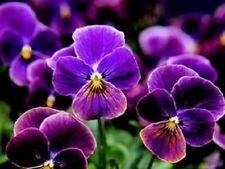 Viola-Sorbetto Tonalità Antico - 15 Semi