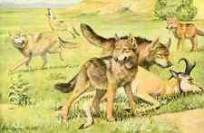 A4 Foto fuertes Louis Agassiz 1919 Timber Wolf & Coyote impreso Poster