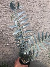 Encephalartos Arenarius TRUE BLUE OVERGROWN 5-6 Leaves Ice Blue Cycads Nursery