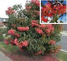 EUKY DWARF eucalyptus leucoxylon native red flowers gum tree plant in 140mm pot