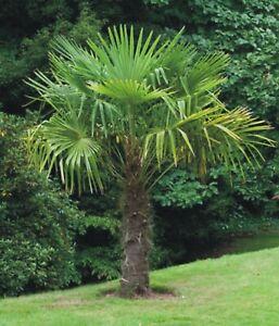 Windmill Palm Trachycarpus Fortunei One Baby Tree 3 1/2 yrs old Hardy Palm plant