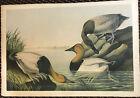 Audubon Bien ChromoLithograph 1860 Canvas Backed Duck