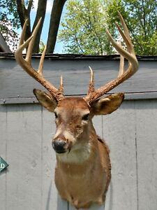 Huge Ohio 10 Pt Shoulder mount whitetail deer head buck taxidermy.wide rack