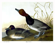 Audubon Red-Headed Duck 30x44 Double Elephant Folio Hand Numbered Edition