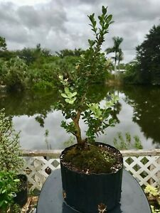 Japanese Boxwood Pre Bonsai Tree  Wide Base Trunk 8 years Tiny Leaves