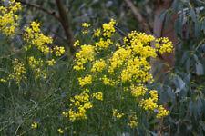 Acacia DEALBATA Nano-arbusto sempreverde in 7cm Vaso Argento Canniccio o Mimosa