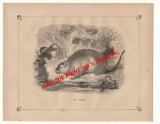 POTAMIS Potamys ANIMAL ANTIQUE PRINT XIX