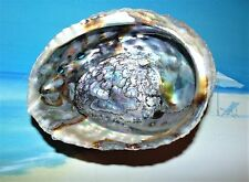 """PINK  ABALONE 5 to 6""""""""  SEA SHELL  BEACH DECOR CRAFT REEF TROPICAL"""